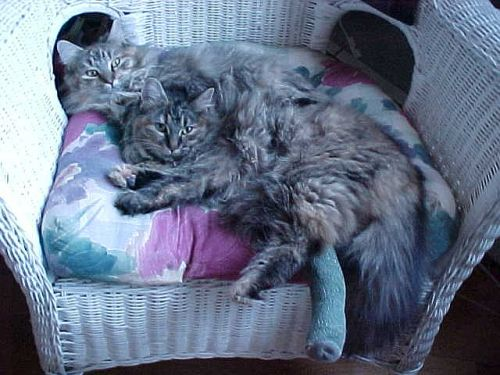 Our Maine coon kitties.. Spencie & Joshua