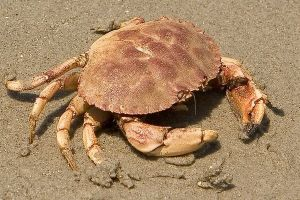 crabby2