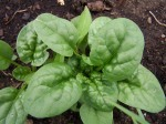spinach, almost ready to pick