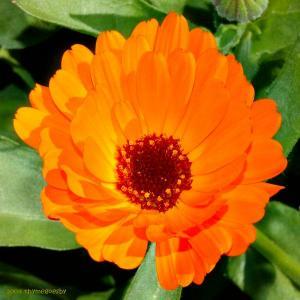 calendula (pot marigold) blossom