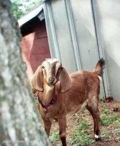 Nubian goat-- 'Cheesecake'