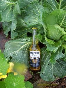 Corona! Preferred by Garden Slugs everywhere