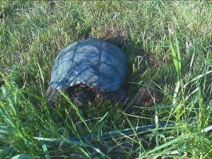 Ms Snappy.. the persistent snapping turtle
