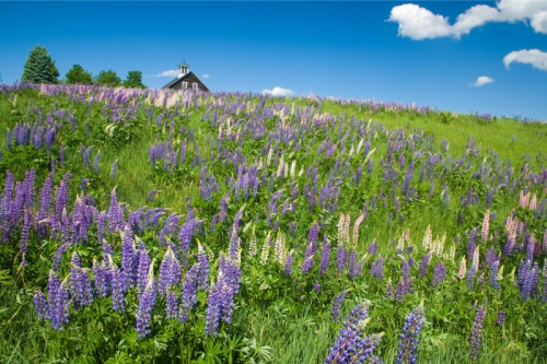 Lupine Wildflower Field