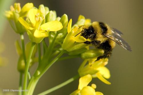 Wild Mustard Bee