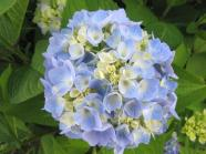 Hydrangea #3 - What can I say?