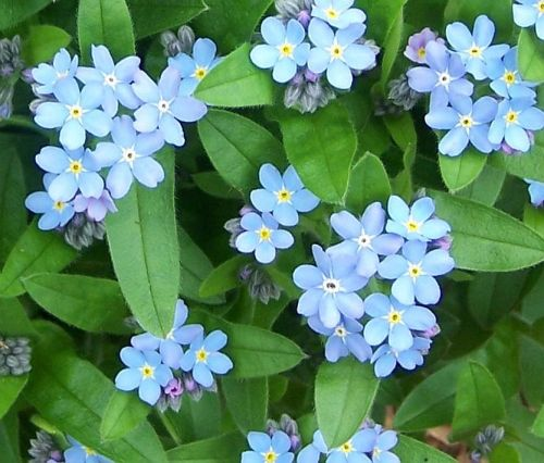 Forget-Me-Not1szd