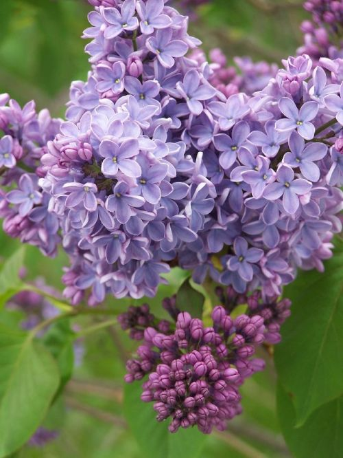 Blossoming lilacs