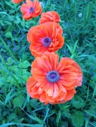 June poppies